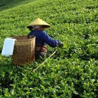 Тайвань – Лидер чайного производства
